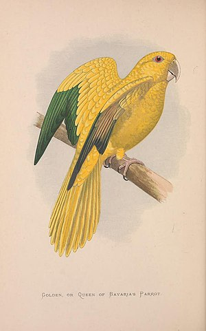 Golden parakeet - Image: Parrots in captivity (Vol. 3. PL. 10) Golden, or Queen of Bavaria's Parrot (8528370616)
