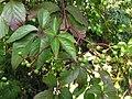 Parthenocissus quinquefolia20090912 121.jpg