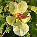 Partridge Pea (Chamaecrista fasciculata)-light variety? (7000513636).jpg