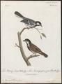 Parus cinereus - 1796-1808 - Print - Iconographia Zoologica - Special Collections University of Amsterdam - UBA01 IZ16100115.tif