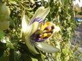 PassifloraCaerulea-bud2flower-1m.jpg