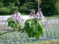 Paulownia tomentosa1.jpg