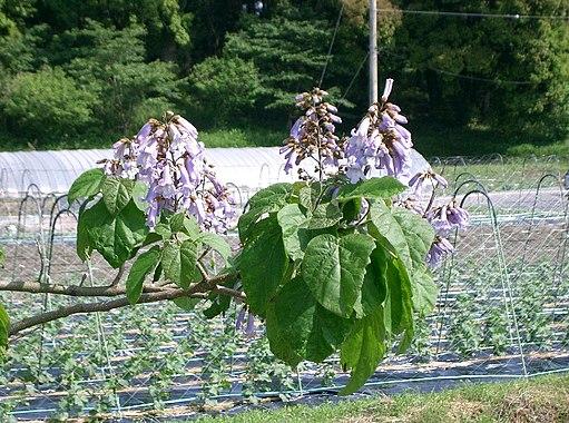 Paulownia tomentosa1