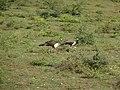 Pavo cristatus Yala National Park 2017-10-26 (1).jpg