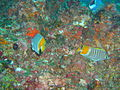 Pearly butterflyfish at Manta Reef dsc04592.jpg