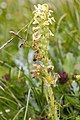 Pedicularis julica 11.jpg