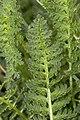 Pedicularis julica 18.jpg