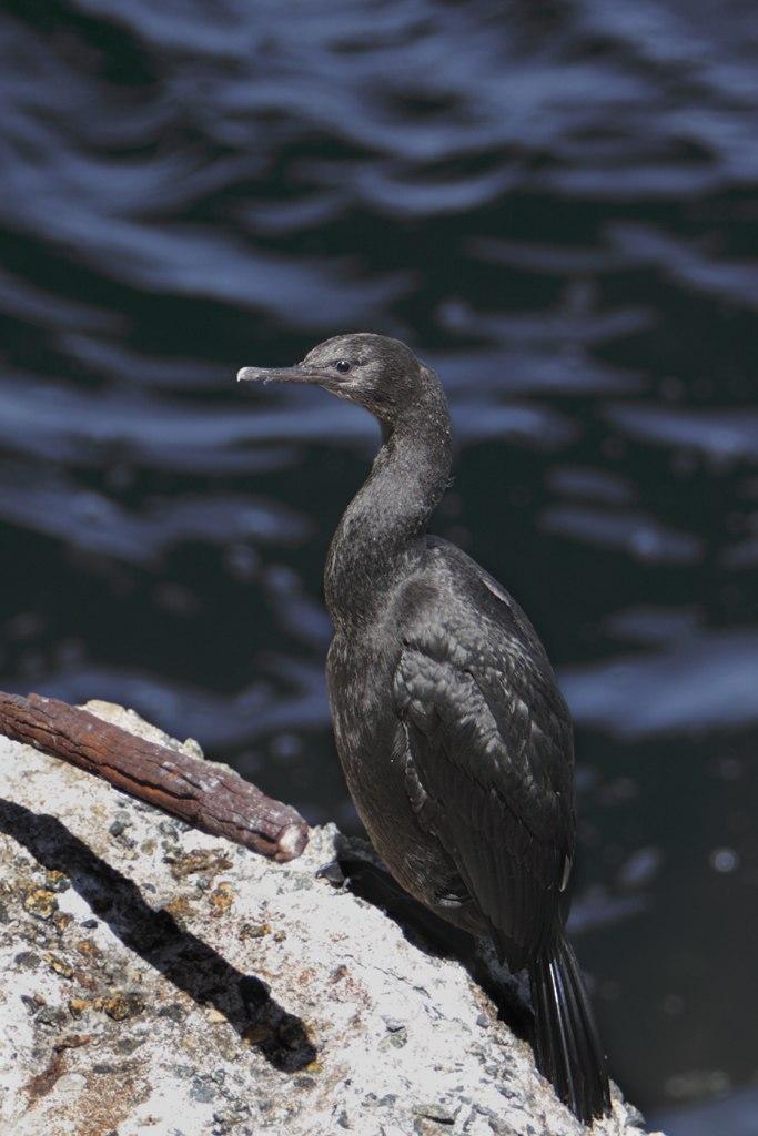 Pelagic Cormorant chick Monterey Bay