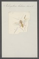 Pelecystoma - Print - Iconographia Zoologica - Special Collections University of Amsterdam - UBAINV0274 046 08 0050.tif