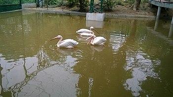 Pelicans in zoo.jpg
