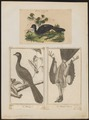 Penelope marail - 1700-1880 - Print - Iconographia Zoologica - Special Collections University of Amsterdam - UBA01 IZ16900115.tif