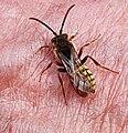 Penzance - Nomada species (April 2020).jpg