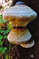 Perspiring mushrooms (21832233591).jpg