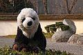 Petit panda au jardin (6824097532).jpg