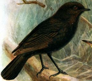 Black robin - Illustration by John Gerrard Keulemans