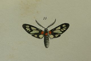 <i>Phacusa</i> (moth) genus of insects