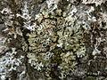 Phaeophyscia ciliata Jymm.jpg