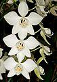 Phalaenopsis aphrodite Orchi 0047.jpg