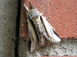 <i>Pheosia tremula</i> Species of moth