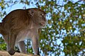 Philippine long tailed macaque (9103715711).jpg