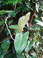 Philodendron erubescens (Araceae).jpg