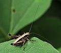 Pholidoptera Kiev1.JPG