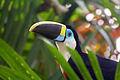 Piapoco de Garganta Blanca (Ramphastos tucanus cuvieri).jpg