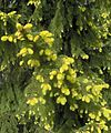 Picea abies f. aurea3.JPG