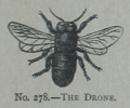 Picture Natural History - No 278 - The Drone.png