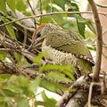 Picus viridis sharpei 123.jpg