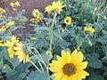 PikiWiki Israel 12974 Flowers sunflowers.jpg