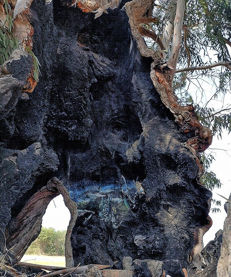 עץ אקליפטוס ותיק