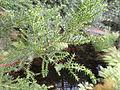 Pilgerodendron uviferum - Palmengarten Frankfurt - DSC01938.JPG