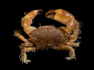 Pilumnus (crab) - Pilumnus hirtellus