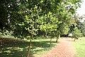 Pimenta Racemosa - Allée.jpg