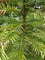 Pinales - Wollemia nobilis - 2.jpg