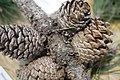 Pinceae Bishop pine prickle cone pine pinus muricata.jpg
