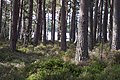 Pine woods and Loch Garten - geograph.org.uk - 236733.jpg