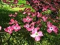Pink-Dogwood-tree-Spring ForestWander.JPG