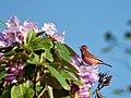 Pink browed Rosefinch (Male)- Himachal- I2 IMG 3790.jpg