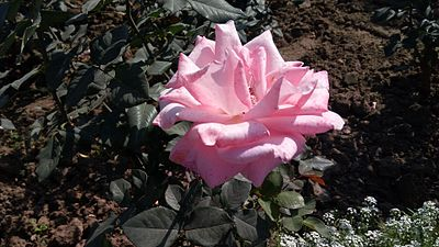 Pink wikipedia a pink rose picture mightylinksfo Choice Image