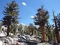 Pinus balfouriana austrina 7.jpg