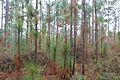 Pinus palustris Poplarville MS.jpg