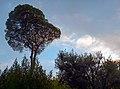 Pinus pinea di viale Terzani.jpg