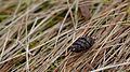 Pinus strobus aborted immature cone - Guelph, Ontario.jpg