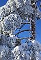 Pinus sylvestris (3281560334).jpg