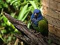 Pionus menstruus -La Senda Verde Animal Refuge -Bolivia-8a.jpg