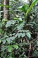 Piper musteum ? (Piperaceae) (29820141511).jpg