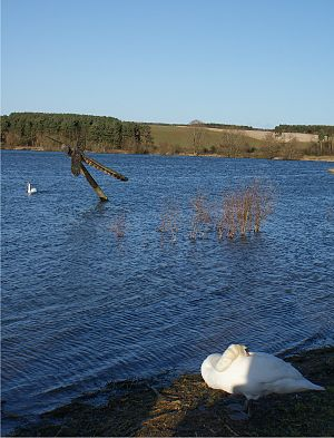Pitsford Water - Northern section of Pitsford Water, with mute swans and dragonfly sculpture