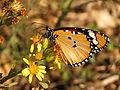 Plain Tiger (15314867713).jpg